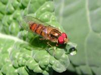 1_Syrphidae