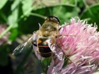 Syrphidae-tenax